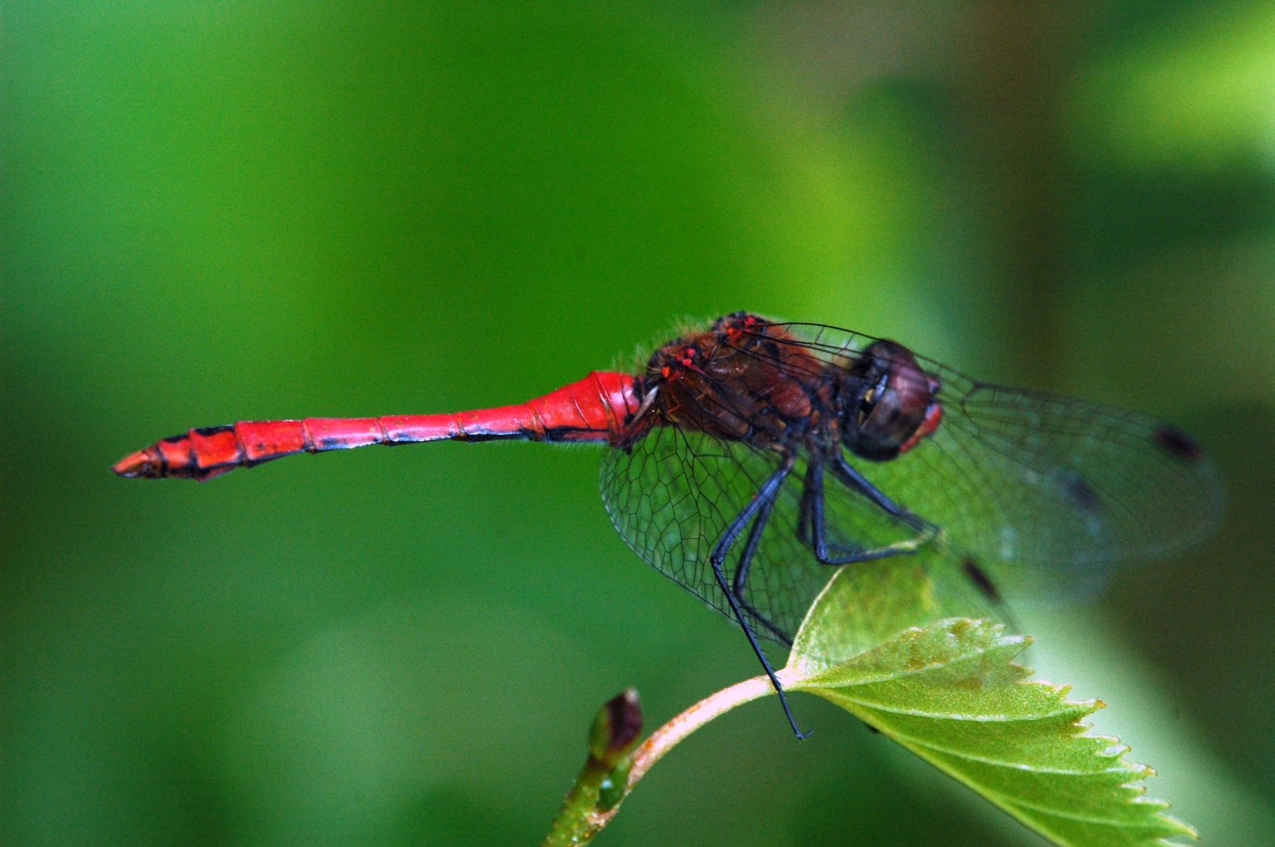 37 (049) Bloedrode heidelibel, mannetje