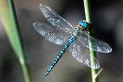 24 (025JM) Zuidelijke glazenmaker (Grote keizerlibel)  mannetje