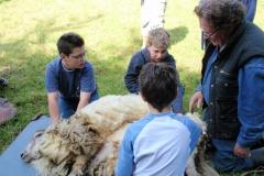 schapenscheren (4)